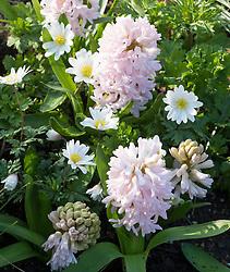 Hyacinthus orientalis 'China Pink' with Anemone blanda 'White Splendour' AGM (Winter windflower)