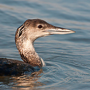 Common Loon (Juvenile) - Gavia immer