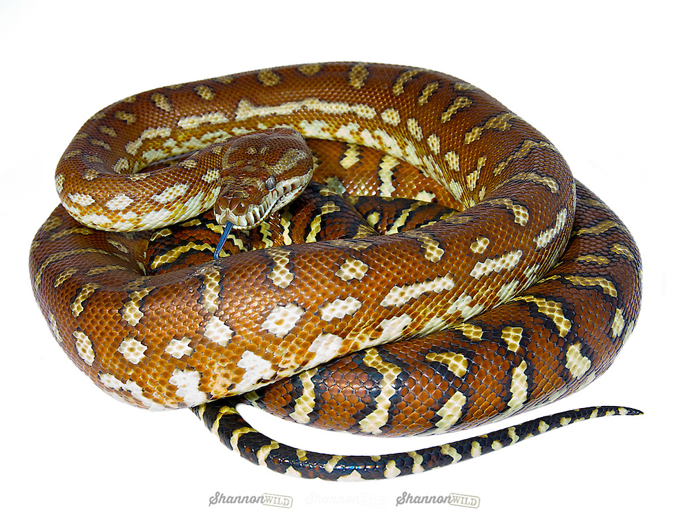 Centralian Carpet Python (Morelia bredli).  Bredli, as they are commonly known is a non-venomous python species found in Australia. Commonly kept as pets.  Also known as Bredl's python, Centralian python, Centralian carpet python.