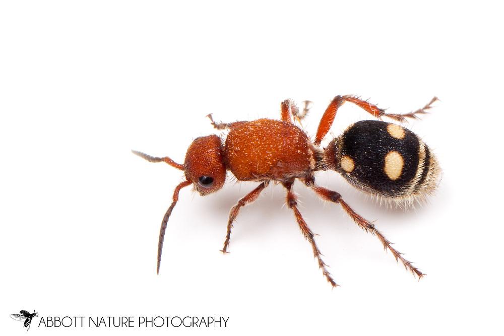 Velvet Ant (Dasymutilla quadriguttata)<br /> TEXAS: Lamar Co.<br /> Camp Maxey National Guard<br /> Powderly  4.VIII.2014<br /> N33.78015 W95.53824 351 ft<br /> J.C. Abbott #2676 &amp; K.K. Abbott
