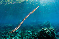 Black Banded Sea Krait ascending for a breath of air..Shot in Indonesia..