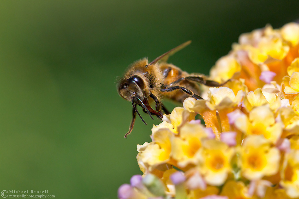 A honeybee (Apis mellifera) forages for nectar on Buddleja flowers (Buddleja weyereiana)