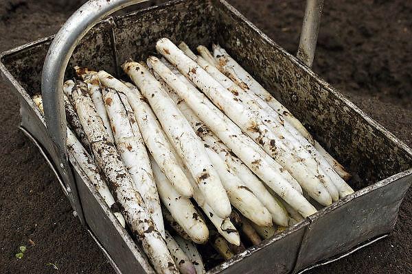 Nederland, Groesbeek, 18-4-2010Vers gestoken asperges in een bak.Foto: Flip Franssen/Hollandse Hoogte