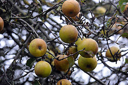 This apple tree on the common along Watt's Lane,Chislehurst,Kent is still in full fruit at the end of November after all the leaves have fallen.  Some local people walking passed the apple tree had to look twice thinking at first the tree had been decorated with Christmas balls.