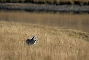 Coyote, Hunting, river, Yellowstone,  Yellowstone National Park, Wyoming