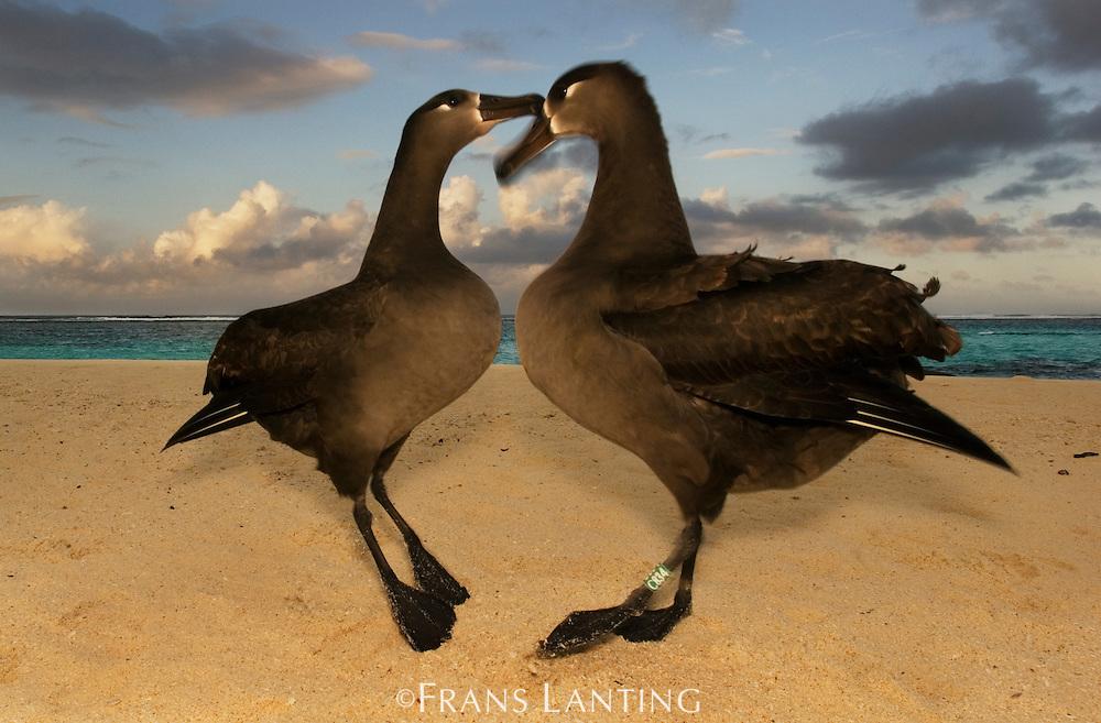 Black-footed albatrosses courting, Phoebastria nigripes, Tern Island, Hawaiian Leeward Islands