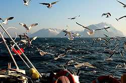 NORWAY LOFOTEN HENNINGSVAER 28MAR07 - Seagulls scavenge for fish innards and heads behind the Utheim Jr  off Henningsvaer on the Lofoten islands...jre/Photo by Jiri Rezac..© Jiri Rezac 2007..Contact: +44 (0) 7050 110 417.Mobile:  +44 (0) 7801 337 683.Office:  +44 (0) 20 8968 9635..Email:   jiri@jirirezac.com.Web:    www.jirirezac.com..© All images Jiri Rezac 2007 - All rights reserved.