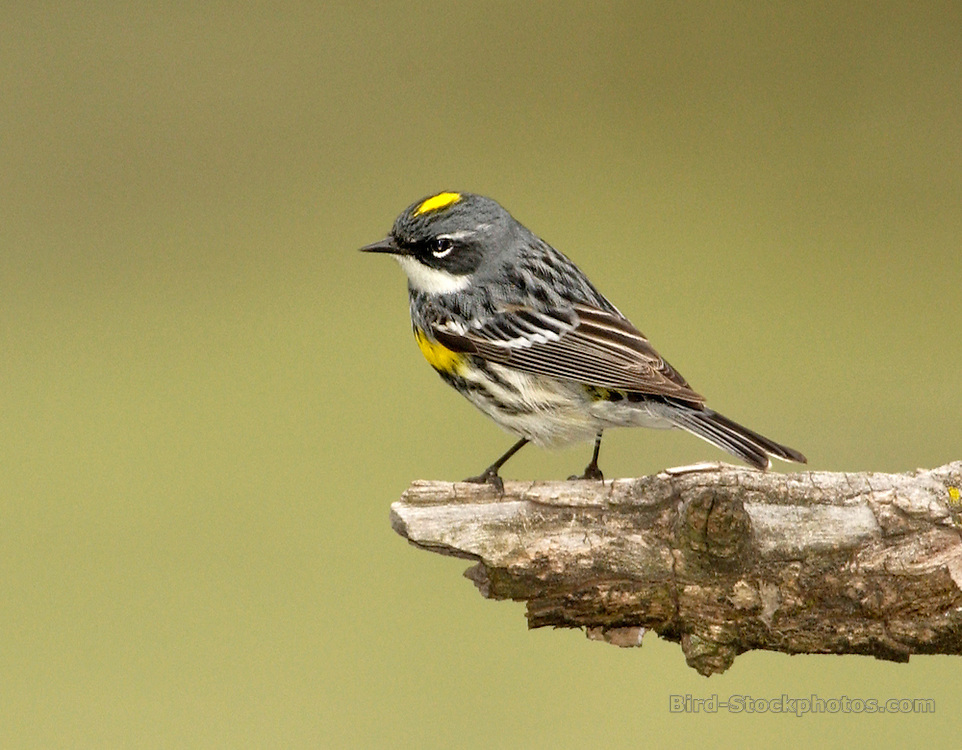 Audubon's Warbler, (Yellow-rumped Warbler), Setophaga auduboni, on branch, USA Midwest, by Owen Deutsch