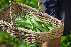 Basket of harvested runner beans. Phaseolus coccineus