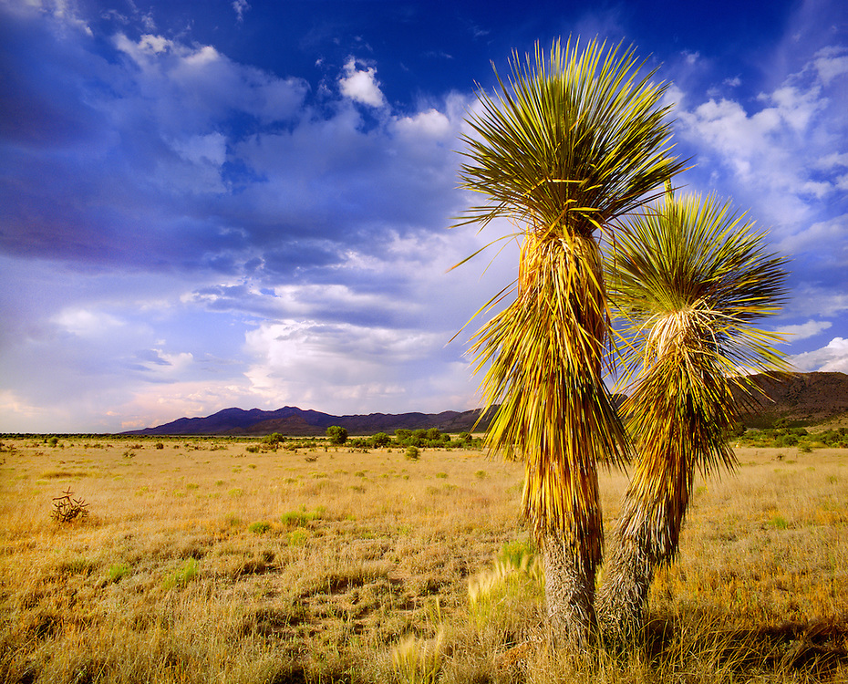 0254-1001 ~ Copyright: George H.H. Huey ~ Soaptree yucca [Yucca elata] with the Animas Mountains in distance, and approaching storm.  The Gray Ranch, New Mexico.