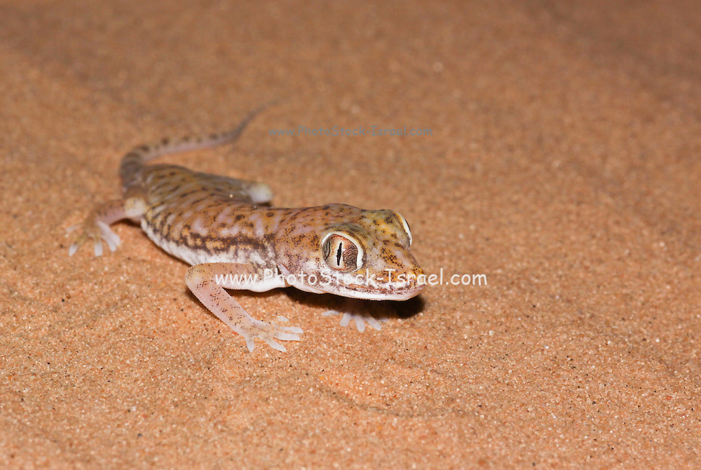 """The Stenodactylus petrii or dune gecko or """"frog-eyed"""" gecko. is a small, mostly nocturnal dwarf gecko of the genus Stenodactylus. They are found across northern Africa and in Israel in arid regions. From head to base of tail, they are about 2-3 inches (5-8 cm) long,"""