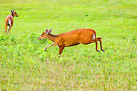 Red muntjac, barking deer,Khao Yai National Park,  Thailand