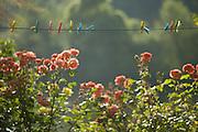 Clothespins, Latoulzanie, Central France
