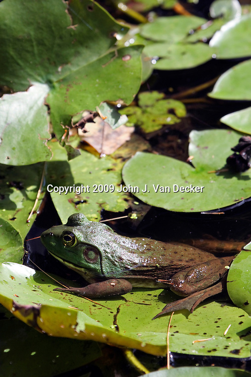 Bullfrog sitting on water lilly pads