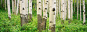 Aspen Grove,  McClure Pass, Colorado, Springtime