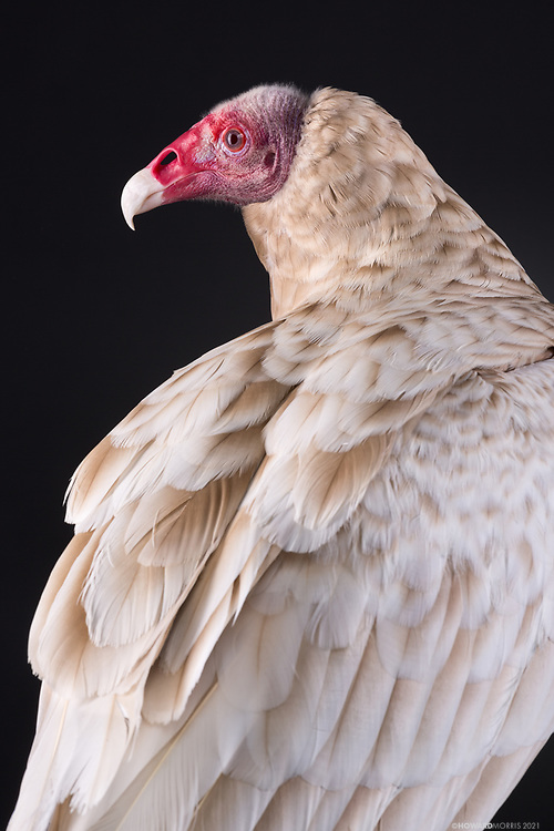 Turkey Vultures (Catharses aura). Wonder was found on the side of the road freezing and starving. As a result of being leucistic he has poor eyesight. Leucism is a condition in which there is partial loss of pigmentation in an animal resulting in white, pale, or patchy coloration of the skin, hair, or feathers, but not the eyes.