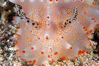 Closeup of Nudibranch's Rhinophores