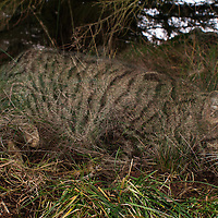 Scottish wildcat hybrid, Scotland. Almost gone. So this is how a species disappears not with a bang or a whimper bur a purr. This wildcat hybrid is one of the many that will lead to the extinction of Scottish wildcats. Whether these hybrids will survive the harsh northern weather and the wildcat gene will shine through is unknown. With 4 million Feral cats in the UK the 400 or so Wildcats face a grim future without immediate help.