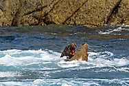 Two male Stellars sea lions squabble in coastal Alaska.