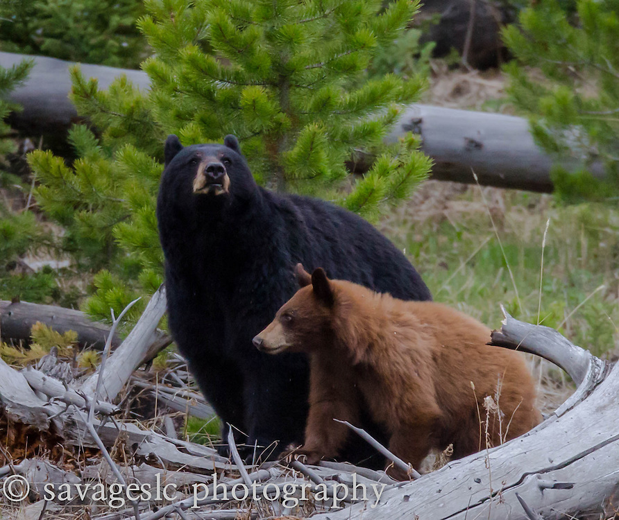 Black bear sow with cinnamon cub.<br />