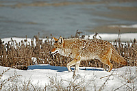 A Coyote walks along the shores of the Great Salt Lake in northern Utah.