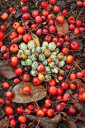 The fallen berries of Malus hupehensis - Hupeh crab apple -syn. Malus theifera, Pyrus malus theifera lying on the ground around sedum shoots
