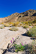 Desert lupine in the Coyote Mountains, Anza-Borrego Desert State Park, California USA