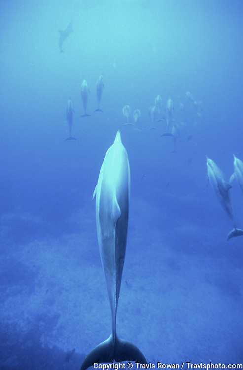 A pod of dolphins underwater in Hawaii.