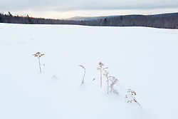 Weeds stick out of the snow in a field in Windsor, Massachusetts. Notchview Reservation. The Trustees of Reservations.