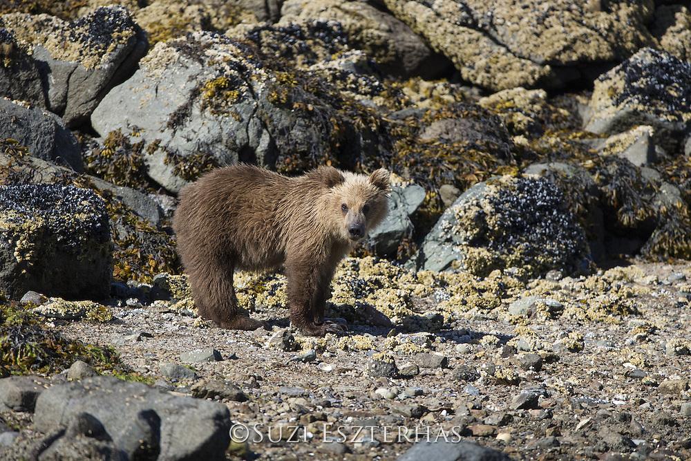 Brown Bear<br /> Ursus arctos <br /> Yearling cub<br /> Katmai National Park, AK