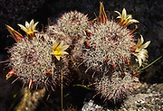 "The coastal fishhook cactus (Mammillaria dioica) is a member of the Ferocactus family, meaning fierce cactus. Photographed in Anza Borrego Desert State Park, California. It usually blooms February to April, and also grows in Baja California, Mexico. Published in ""Bizarre Blooms of Baja"", April 2006 issue of Americas, the official magazine of the Organization of American States, or OAS."