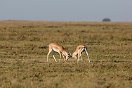 Male Grant's gazelles spar and fight for dominance on the short-grass plains of East Africa