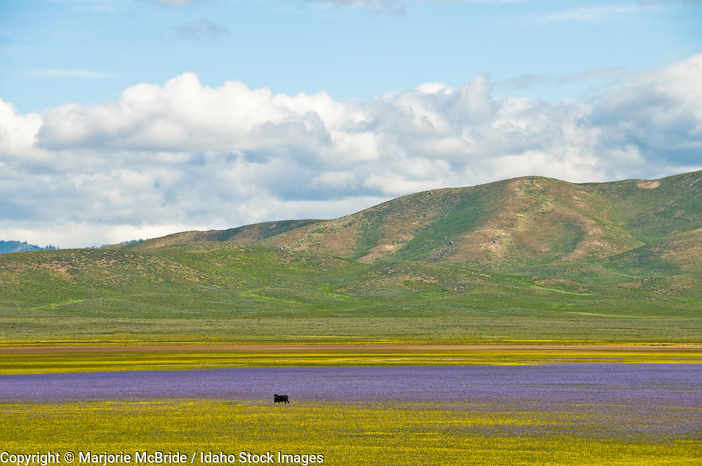 Idaho,  field of wildflowers with grazing cattle along the Soldier Mountains near Fairfield during spring.