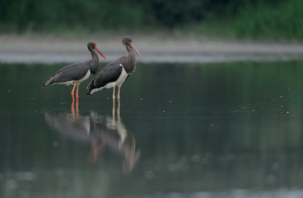 Black Storks River Elbe Germany; Biosphärenreservat Niedersächsische Elbtalaue; Biosphere Reserve Middle Elbe; Black Stork; Schwarzstorch; Ciconia nigra; adult; juvenil