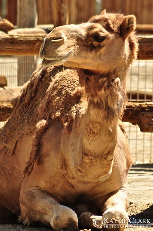 Dromedary Camel (Camelus dromedarius) or Arabian camel