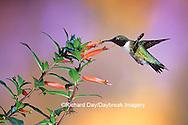 01162-089.16 Ruby-throated Hummingbird (Archilochus colubris) male on Cigar Plant (Cuphea ignea) Shelby Co.  IL