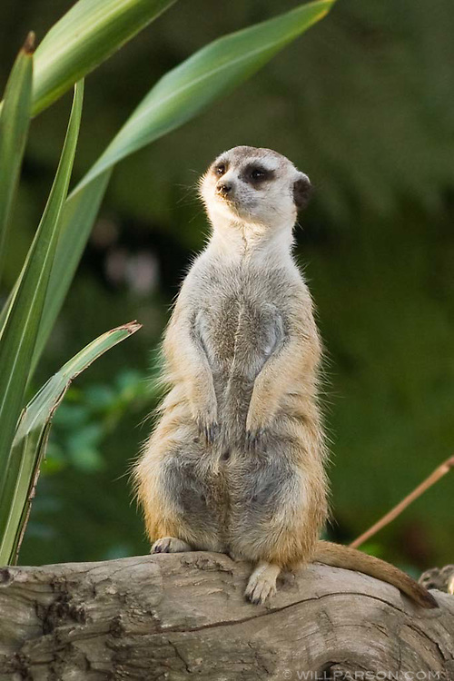 A meercat stands guard at the San Diego Zoo