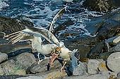 Great Black-backed Gull - Larus marinus feeding and fight