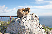 Barbary macaque apes, Gibraltar, British terroritory in southern Europe Barbary macaque apes, Macaca sylvanus, Gibraltar, British terroritory in southern Europe