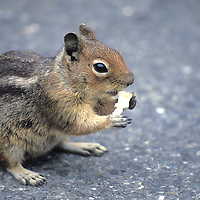 Various Squirls and Chipmunks