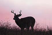 Buck at Big Meadows Skyline Drive, sunrise.