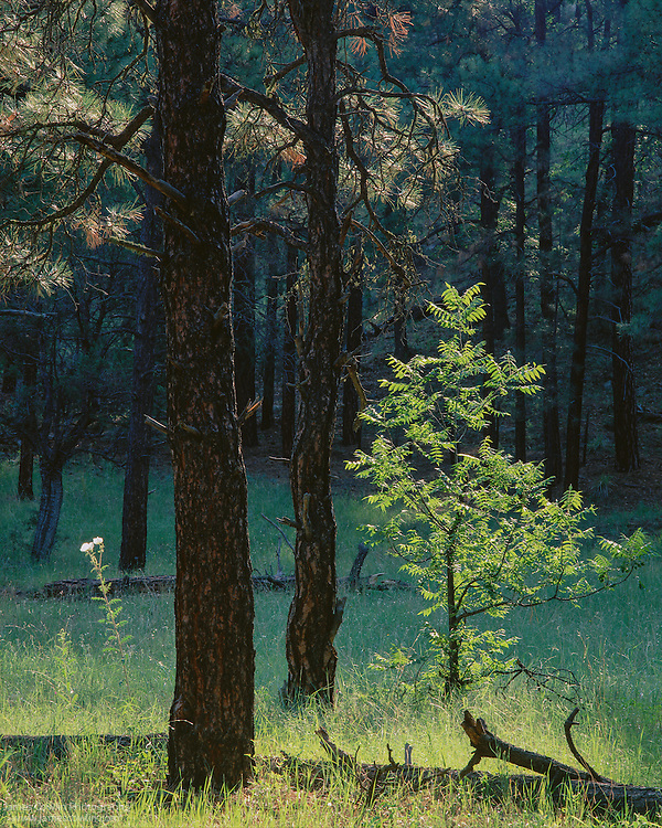 A prickly poppy and walnut tree in a ponderosa pine forest in the White Mountains of Arizona