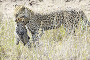 Tanzania, Serengeti National Park, Leopard, Panthera pardus, Mother and cub Photographed in December