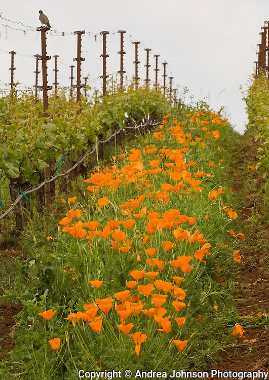 Springtime wildflowers cover the vineyards at Archery Summit Estate vineyard, Dundee Hills, Willamette Valley, Oregon