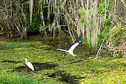 Great Egret standing and rare Wood Stork, Mycteria americana, in flight in swamp in the Florida Everglades, USA