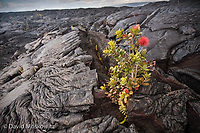 A young ʻōhiʻa lehua (Metrosideros polymorpha) tree has sprouted up and flowered in a crack from a lava flow which is just a few years old. Kilauea volcano, Hawaii.