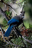 A Steller's Jay perches in a fir tree, Lassen National Park