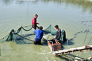 Israel. Jordan Valley, Kibbutz Afikim fishery Removing the young carp to be transferred to the larger growing pools