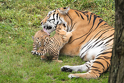 August 12, 2016 - Duisburg, North Rhine-Westphalia, Germany - Tiger Dasha plays with her twin cubs at the zoo in Duisburg, Germany, 12 August 2016. The cubs were born about six ago and were exploring the outdoor enclosure for the first time. Photo:  Marius Becker/dpa (Credit Image: © Marius Becker/DPA via ZUMA Press)