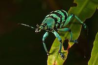 A weevil in the genus Eupholus.